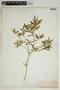 Croton linearis Jacq., U.S.A., A. S. Hitchcock 1665, F