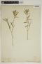 Croton linearis Jacq., U.S.A., H. J. Webber 351, F