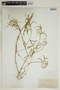 Croton linearis Jacq., U.S.A., J. H. Simpson 186, F