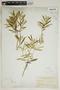 Croton linearis Jacq., U.S.A., N. L. Britton 457, F