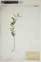 Croton linearis Jacq., U.S.A., A. A. Eaton 67, F