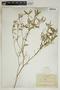 Croton linearis Jacq., U.S.A., A. A. Eaton 354, F