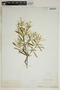 Croton linearis Jacq., U.S.A., A. S. Hitchcock, F