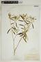Croton linearis Jacq., U.S.A., J. K. Small, F