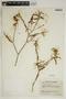 Croton linearis Jacq., U.S.A., J. A. Steyermark 63259, F