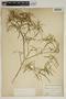 Croton linearis Jacq., U.S.A., C. L. Pollard 84, F