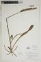 Spiranthes cernua (L.) Rich., U.S.A., 87, F