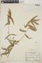 Acalypha angustifolia image