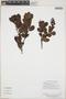Gaiadendron punctatum (Ruíz & Pav.) G. Don, Guyana, H. D. Clarke 10537, F