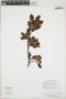 Gaiadendron punctatum (Ruíz & Pav.) G. Don, Guyana, H. D. Clarke 11643, F