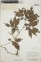 Zygia latifolia var. lasiopus (Benth.) Barneby & J. W. Grimes, British Guiana [Guyana], A. C. Smith 2122, F