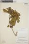 Abarema jupunba (Willd.) Britton & Killip var. jupunba, Brazil, F