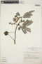 Abarema jupunba (Willd.) Britton & Killip var. jupunba, Colombia, F