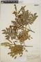 Abarema jupunba (Willd.) Britton & Killip var. jupunba, Peru, F