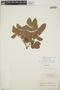 Abarema jupunba var. trapezifolia (Vahl) Barneby & J. W. Grimes, Suriname, F