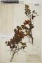 Abarema jupunba var. trapezifolia (Vahl) Barneby & J. W. Grimes, British Guiana [Guyana], F