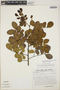 Abarema jupunba var. trapezifolia (Vahl) Barneby & J. W. Grimes, Venezuela, F