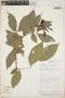 Zygia latifolia (L.) Fawc. & Rendle, Peru, F