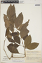 Zygia latifolia (L.) Fawc. & Rendle var. latifolia, Colombia, F