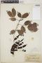 Zygia latifolia (L.) Fawc. & Rendle var. latifolia, British Guiana [Guyana], F