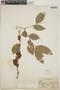 Zygia latifolia (L.) Fawc. & Rendle var. latifolia, Bolivia, F