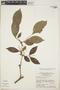Zygia latifolia (L.) Fawc. & Rendle var. latifolia, Brazil, F