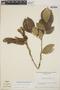 Zygia latifolia (L.) Fawc. & Rendle var. latifolia, Venezuela, F