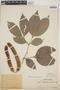 Zygia latifolia (L.) Fawc. & Rendle var. latifolia, Peru, F
