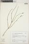 Salvia striata Benth., Peru, K. S. Zimmerer 16, F