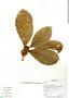 Ficus trigona L. f., Ecuador, G. Villa 1190, F