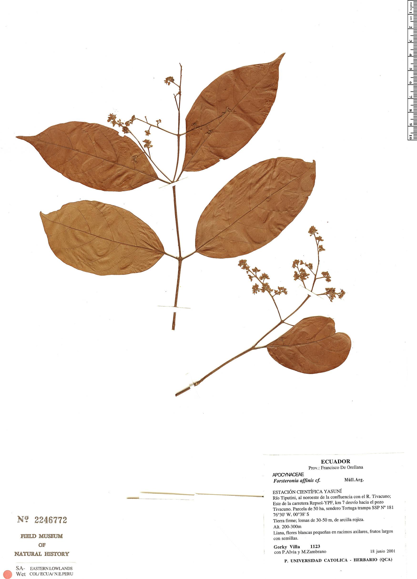 Specimen: Forsteronia affinis