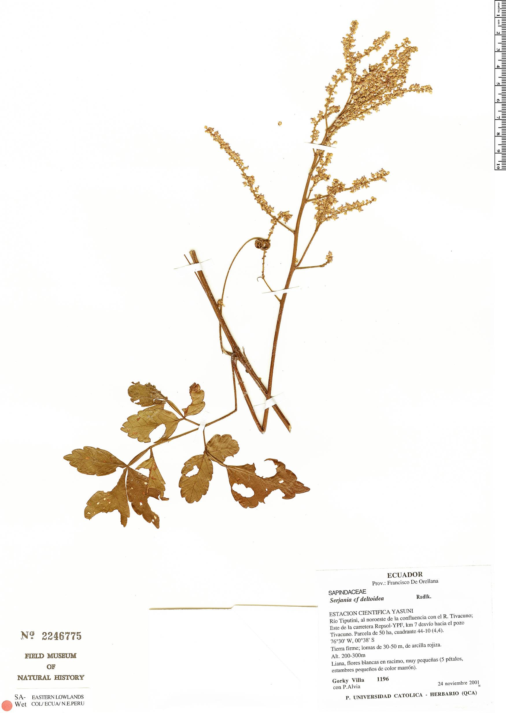 Specimen: Serjania deltoidea