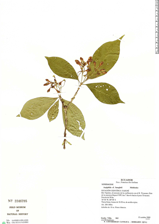 Specimen: Aegiphila haughtii