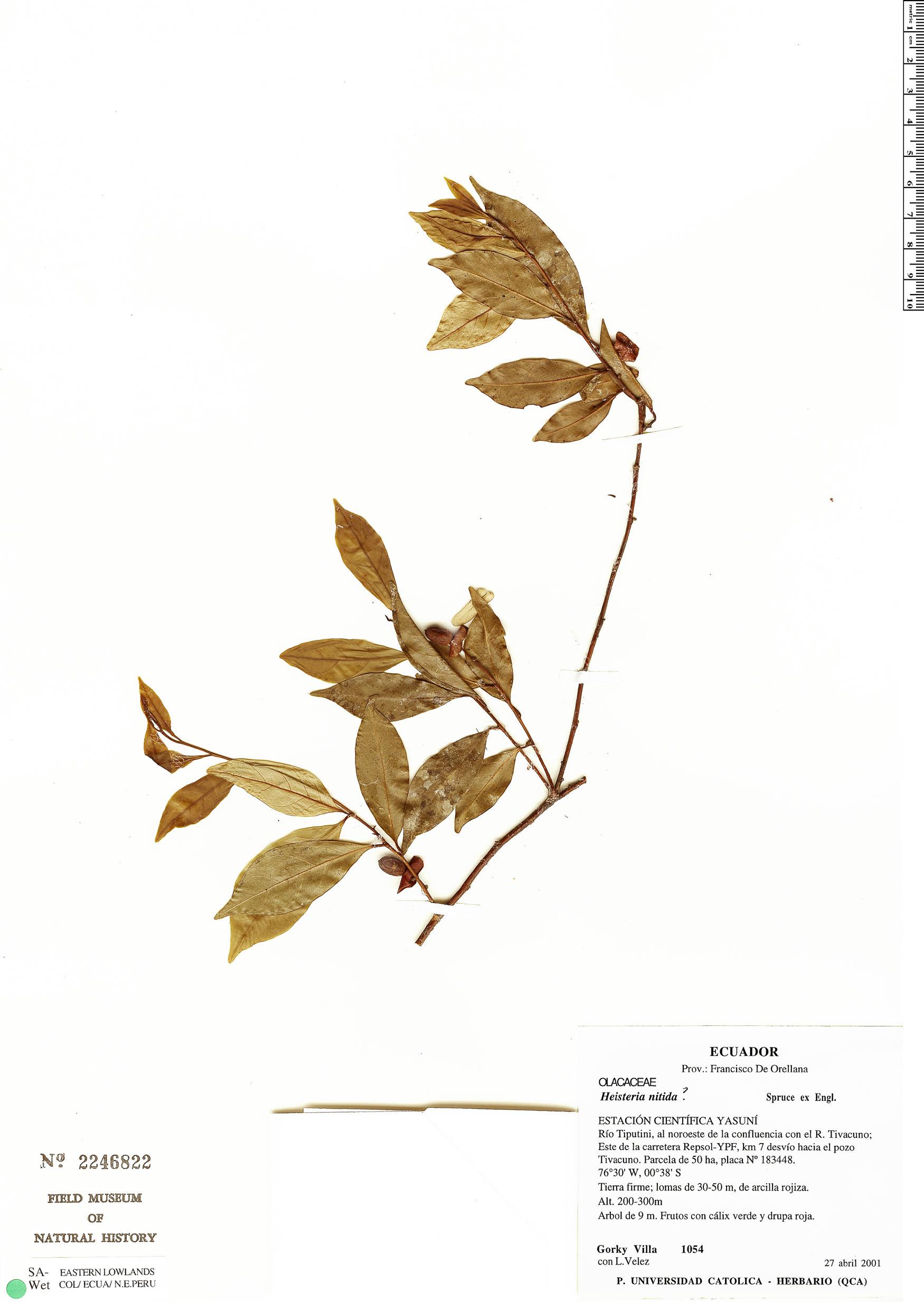 Specimen: Heisteria nitida