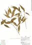 Faramea quinqueflora Poepp. & Endl., Peru, H. Beltrán 5797, F