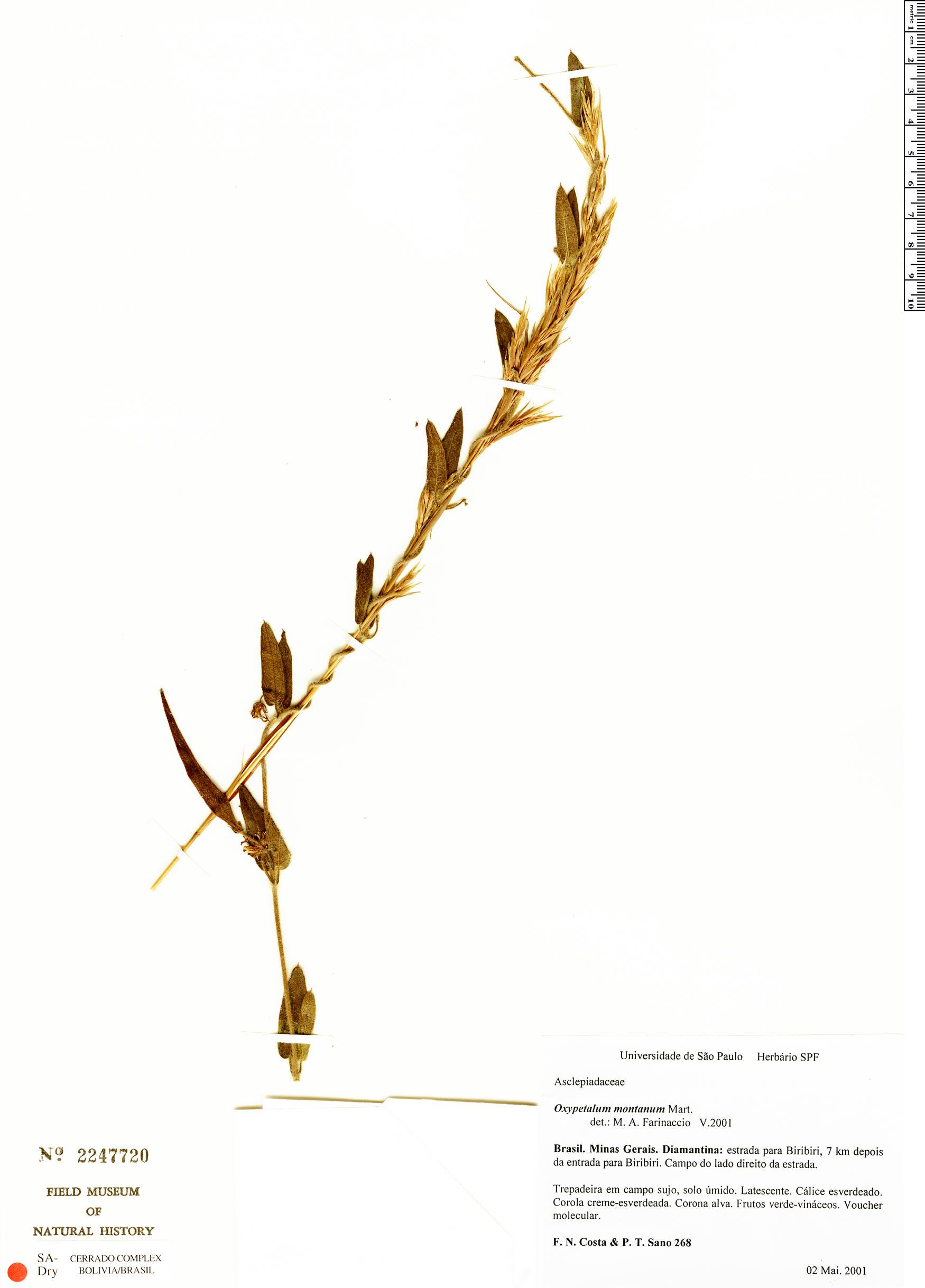Specimen: Oxypetalum montanum