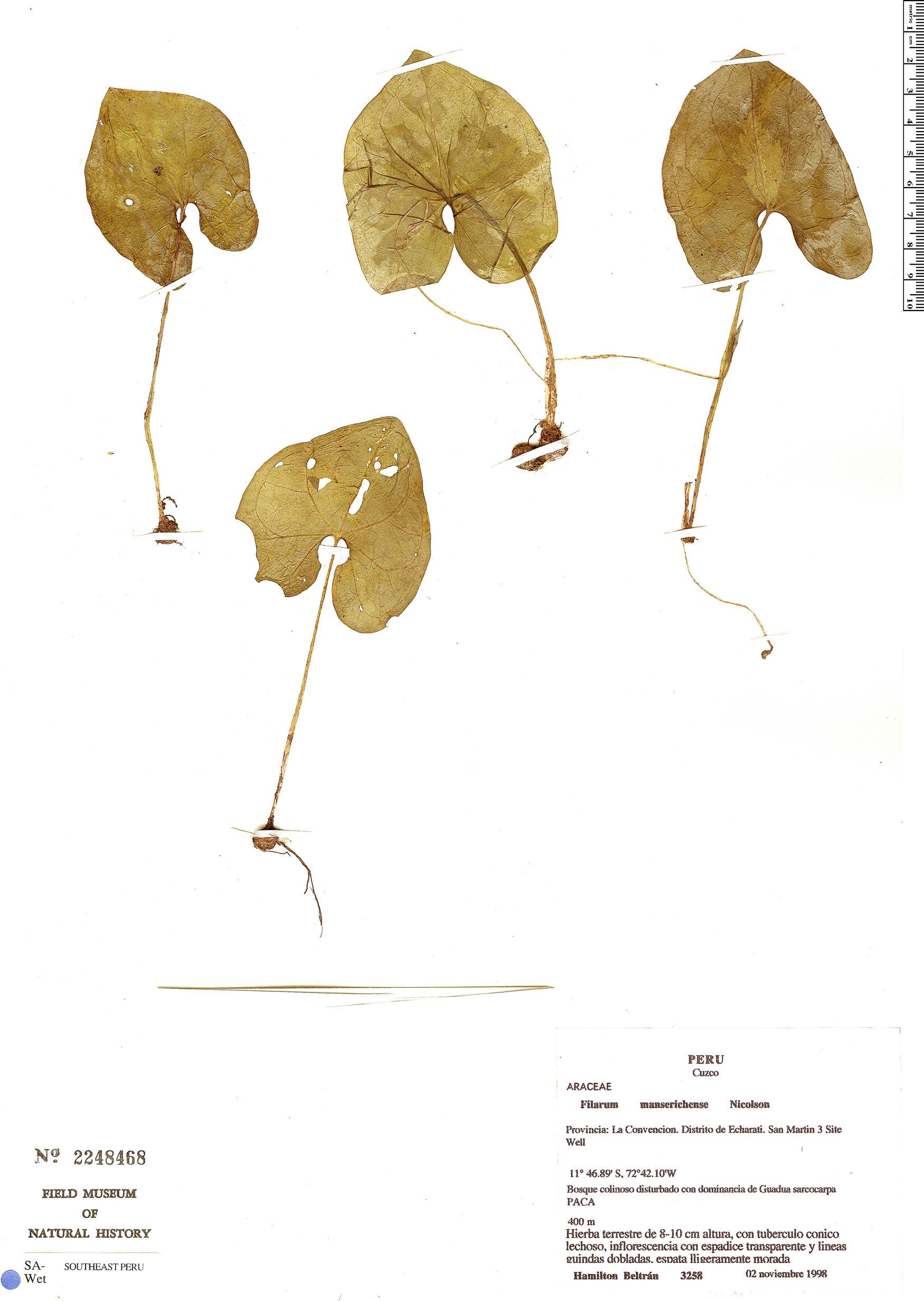 Specimen: Filarum manserichense