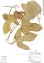 Gurania rhizantha (Poepp. & Endl.) C. Jeffrey, Peru, M. Ríos 709, F