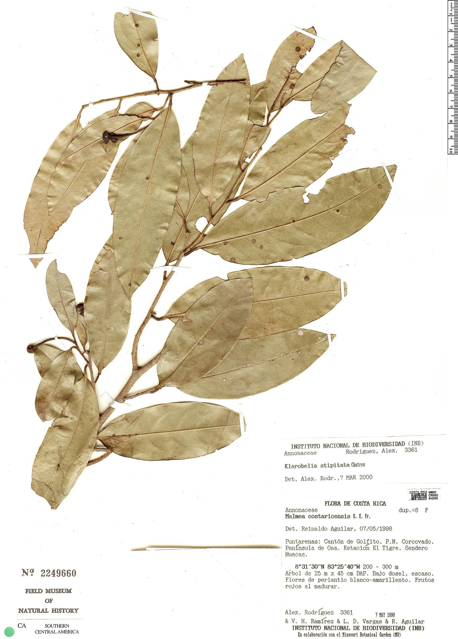 Espécime: Klarobelia stipitata