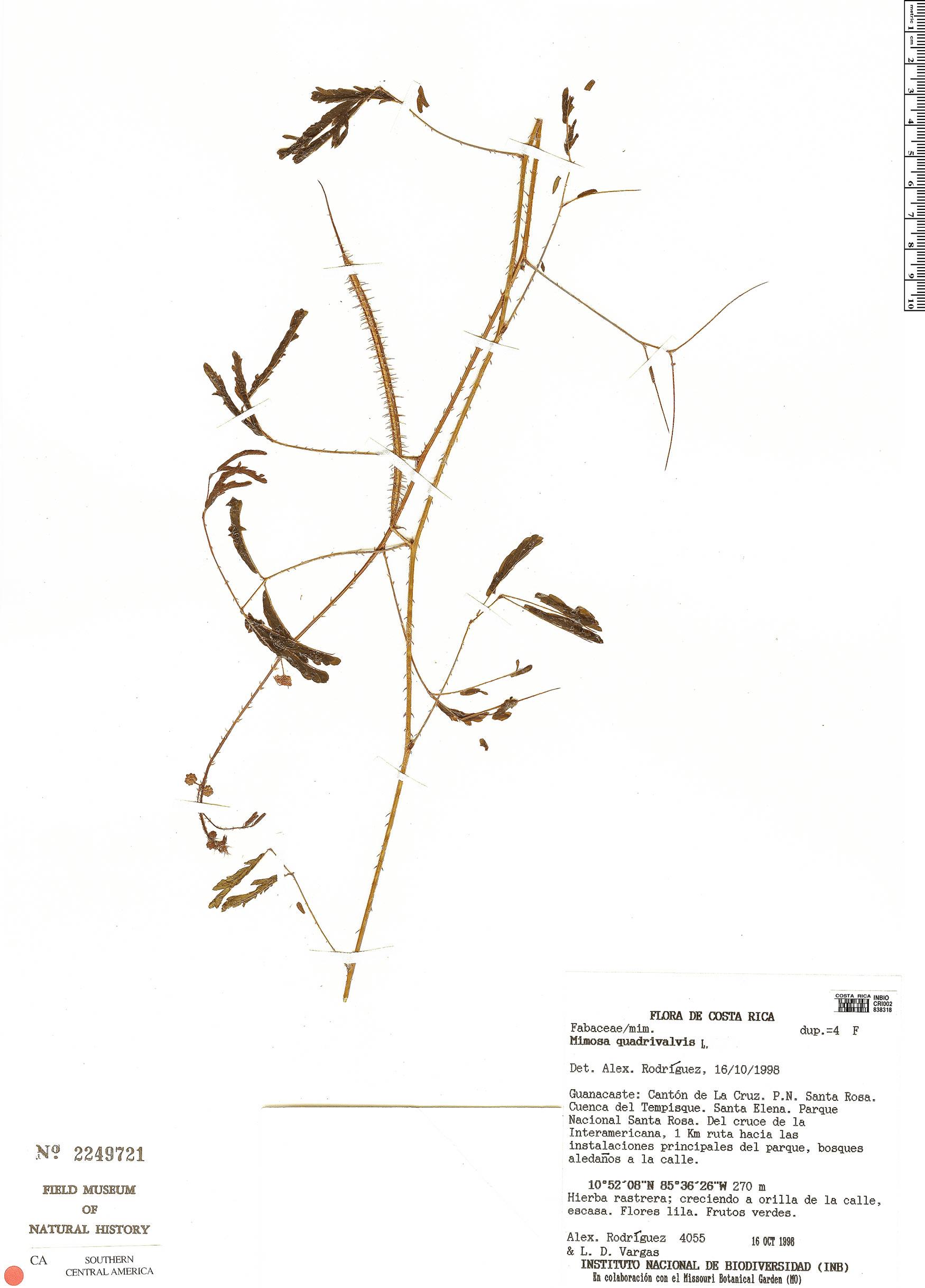 Specimen: Mimosa quadrivalvis