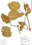 Stizophyllum inaequilaterum Bureau & K. Schum., Ecuador, R. J. Burnham 1705, F