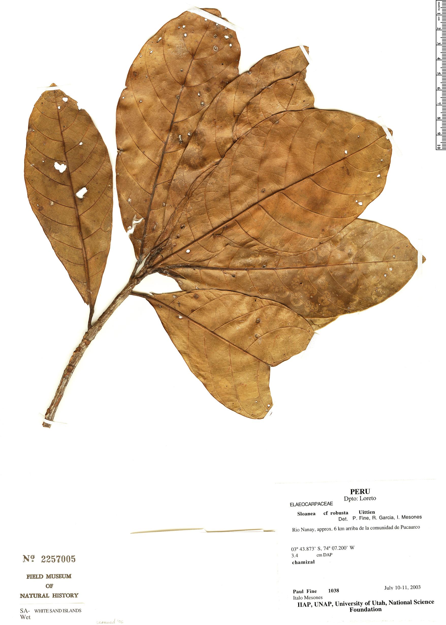 Specimen: Sloanea parvifructa