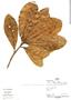 Sloanea robusta Uittien, Peru, P. Fine 1038, F