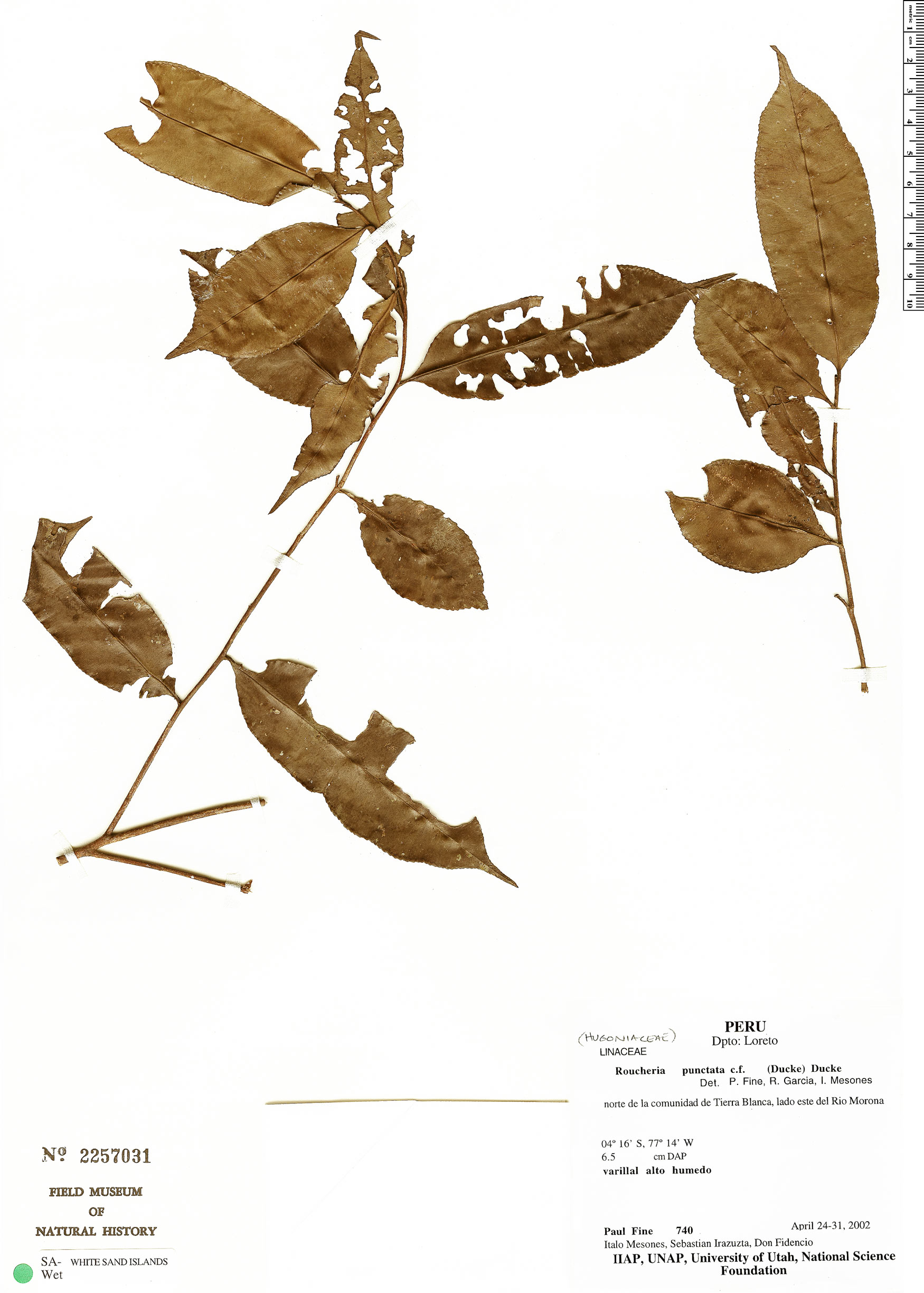 Specimen: Roucheria punctata