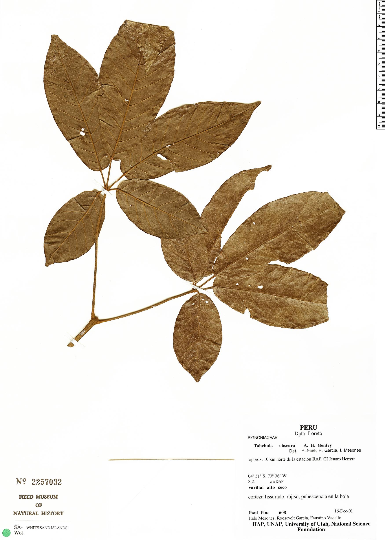Specimen: Handroanthus obscurus