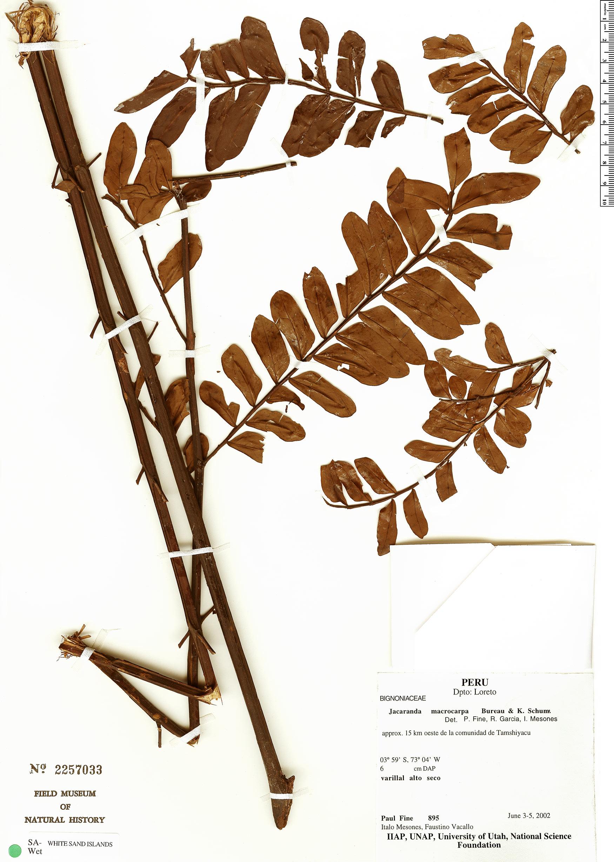 Espécimen: Jacaranda macrocarpa