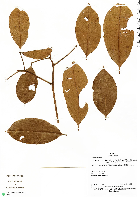 Espécime: Pachira nitida