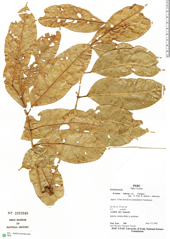 Specimen: Protium rubrum