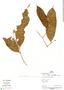 Couepia williamsii J. F. Macbr., Peru, I. Mesones 8, F