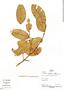 Calophyllum brasiliense Cambess., Peru, P. Fine 855, F